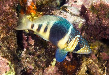 hamlet: A barred hamlet swimming in the waters of Roatan Honduras.