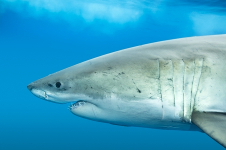 gills: A great white shark swimming at Guadalupe Island looking for food. Stock Photo