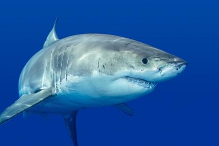 ホオジロザメ食べ物を探してグアダルーペ島で泳ぐ。 写真素材