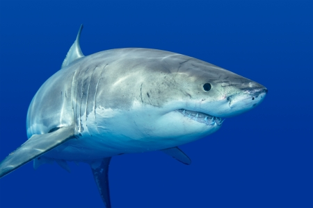 A great white shark swimming at Guadalupe Island looking for food. Banque d'images
