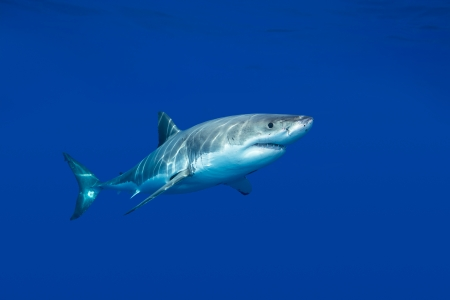 mouth: A great white shark swimming at Guadalupe Island looking for food