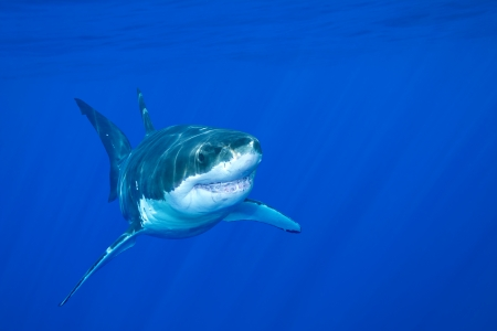 underwater animals: A great white shark swimming at Guadalupe Island looking for food