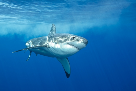 A great white shark swimming at Guadalupe Island looking for food