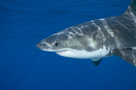guadalupe island: A great white shark swimming at Guadalupe Island looking for food