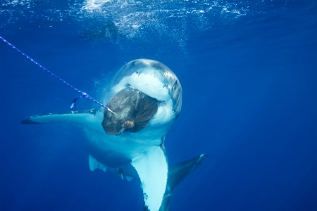 A great white shark swimming at Guadalupe Island looking for food  Stock Photo - 22849283