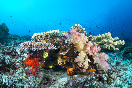 hard coral: Beautiful tropical underwater corals and spongesw on a reef surrounded by blue water and fish. Clear water shows the water ripples on the surface. Stock Photo