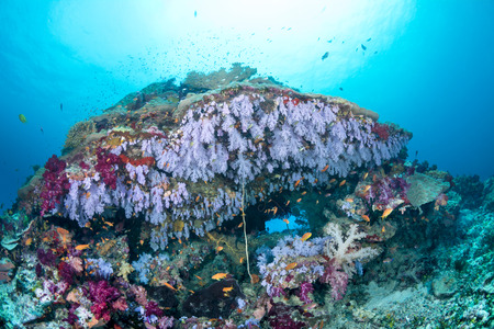 A reef with beautiful purple soft coral hanging from its underside surrounded by clear, blue water and shining sunshine at the surface. You can see the water ripples on the surface which shows the excellent water clarity. photo