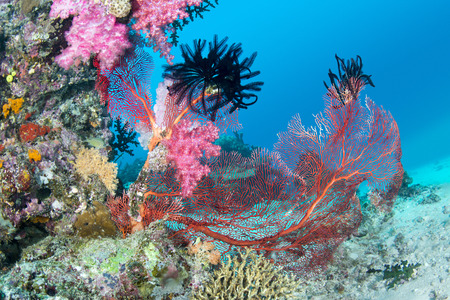 seafan: Beautiful, pink tropical underwater corals with a large red seafan on a reef surrounded by clean, blue water. Stock Photo