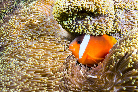 A beautiful orange clownfish rests in the protective tentacles of a sea anemone in the tropical sea of Fiji. Stock Photo