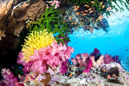 美しい、エキゾチックな熱帯の暗礁は鮮やかなソフトコーラルとハードコーラルと澄んだ水で黄色ウミユリで覆われています。