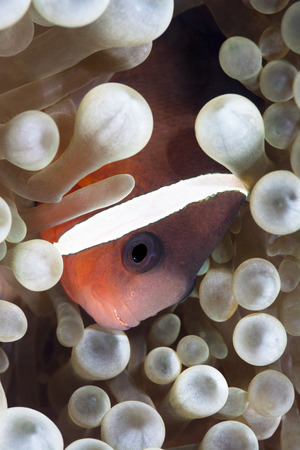 A tropical clown anemone fish rests within the protective tentables of a host anemone Imagens