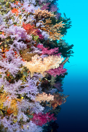 hard coral: A vibrantly colored reef wall in Fiji hosts a large species of hard and soft corals and gorgonian sea fans. Stock Photo