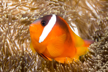 A bright orange clownfish swims around the tentacles of a giant anemone,, which it uses as its home.