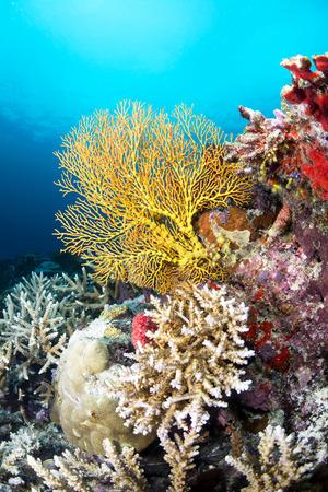 スポンジとハードコーラルが、フィジーでのショットで覆われてサンゴ礁の美しい黄色の海ファンのイメージ。