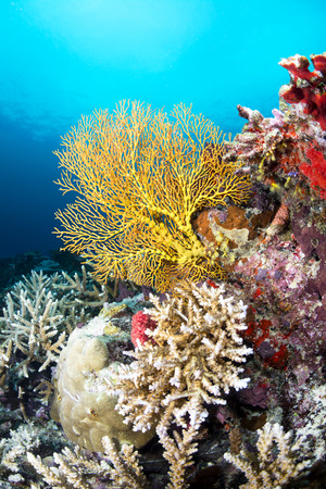 hard coral: Image of a beautiful yellow sea fan on a reef covered with sponges and hard corals, shot in Fiji.  Stock Photo