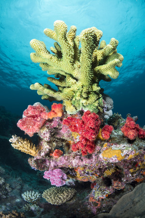 Large, green branching hard coral dominates a small reef and it surrounded by colorful sponges and algae.