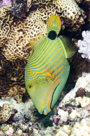 An exotic, tropical range lined triggerfish feeds vertically on a coral reef in Fiji Stock Photo - 26104037