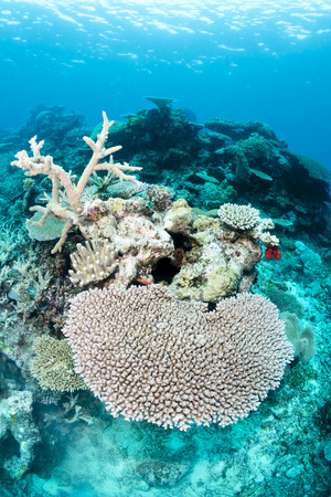 A view of healthy table top coral in the tropical south pacific waters of Fiji