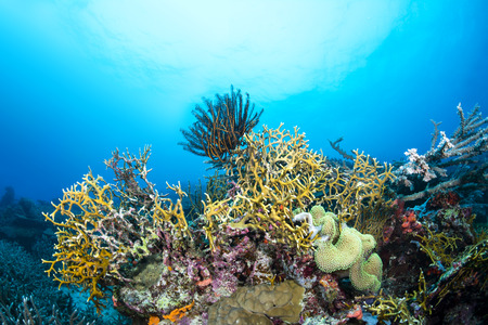 dangerous reef: Dangerous fire coral lines a tropical reef in Fiji while a crinoid feeds on plankton suspended in the water column.  Stock Photo