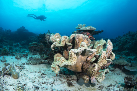 hard coral: A scuba diver swims past an unusual hard coral formation covered with a colony of cup corals. Image shot in the tropical water of Fiji.