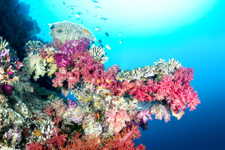 hard coral: A beautiful color encrusted ledge on a tropical reef in Fiji hosts a multitude of colorful soft and hard corals in clear water with a big sun ball at the surface. Stock Photo