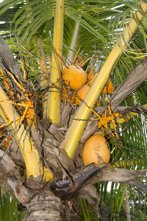 rips: Close up of a dwarf coconut tree with rips fruit that is harvested by local villagers.
