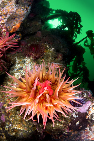 invertebrates: A beautiful sea anemone with extended tentacles exposes its mouth and feeds on plankton from the green, cold water