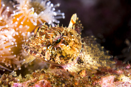 territorial: A small territorial sculpin rests atop a reef, surrounded by sea anemones, staring into my camera