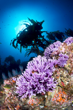 branching coral: Sunlight in crystal clear blue water frames a beautiful cluster of purple coral in southern California's Channel Islands.