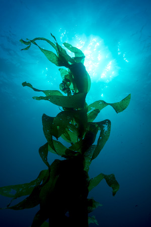 Silouette of giant kelp framed against the sun and sunrays in clear water