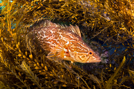 cryptic: A kelpfish hiding in Sargassum uses these algae to blend in and hide from predators