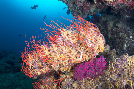 sea fan: A sea fan is engulfed with small, colorful starfish called brittle stars, which are clinging to the sea fan so they don't get swept away while they feed on plankton. Stock Photo