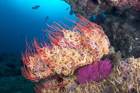 plankton: Un ventilador de mar se envolvi� con una peque�a estrella de mar de colores, llamados estrellas de mar, que se aferran a la fan de mar para que no se deje llevar de distancia mientras se alimentan de plancton.