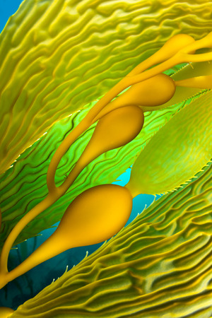 kelp: Close up image of kelp, showing the blades, bladders and stipe with multi hues of iridescent green. Stock Photo