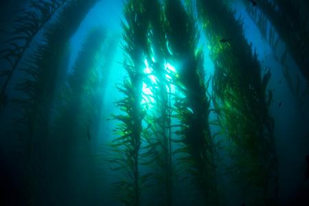 alga marina: Bosque de algas bajo el agua hermosa en agua clara muestra los rayos del sol penetran el gigante plants.K