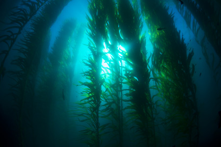 Beautiful underwater kelp forest in clear water shows the sun's rays penetrating the giant plants.K Standard-Bild