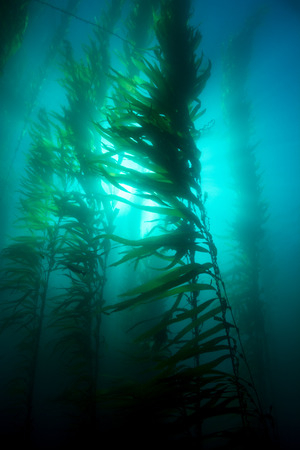 Beautiful underwater kelp forest in clear water shows the sun's rays penetrating the giant plants.