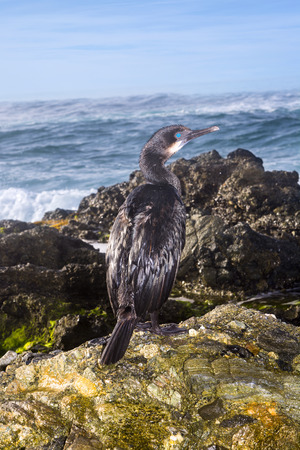 seabird: A cormorant seabird rests on an oceanfront reef during an early morning sunrise. Stock Photo