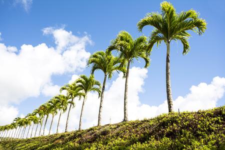 palm lined: Palm trees line the outskirts of a road in Kauai Hawaii