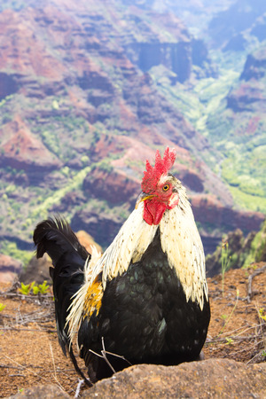 feral: A feral chicken stands at the base of colorful Waimea Canyon in Kauai Hawaii