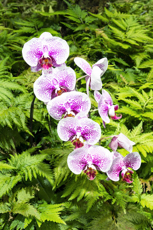 ferns and orchids: A row of purple orchids surrounded by vibrant ferns in a lush Hawaiian botanical garden