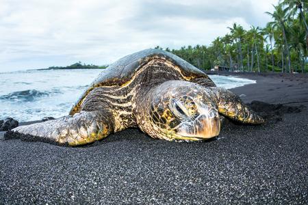 schildkr�te: Eine riesige gr�ne Schildkr�te auf einem hawaiischen schwarzen Sand tropischen Strand kriecht aus dem Wasser f�r eine Rast.