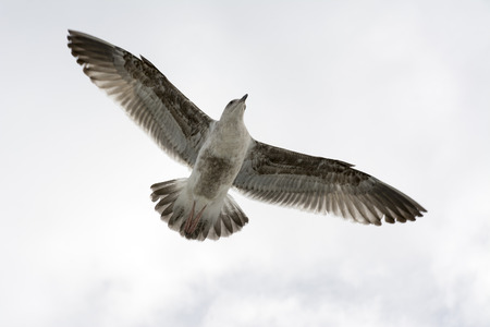 effortless: A seagull spreads its wings as it glides effortlessly through a white sky Stock Photo