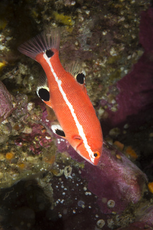 seeks: A colorful juvenile sheephead swims near a protective reef where it seeks refuge and safety from predators. Stock Photo