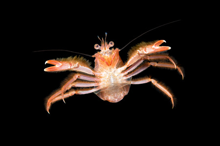 prawn: A small tuna crab brought to California by El Nino currents swims in mid water staring at my camera.