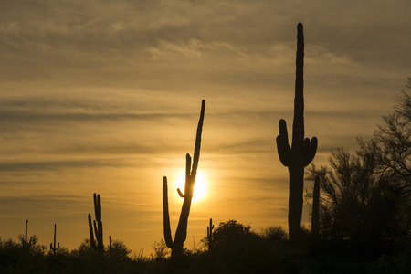 black and white plant: An image of a saguaro cactus during sunset at Superstition desert in Arizona shows the rugged detail of a dry, parched wilderness