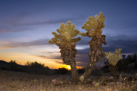 cholla cactus: An image of a cholla cactus during sunset at Superstition desert in Arizona shows the rugged detail of a dry, parched wilderness Stock Photo