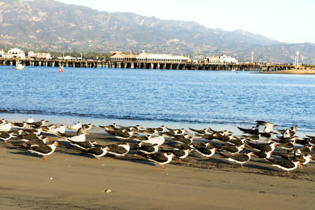 Seabirds huddle along the sandy beach in Santa Barbaras iconic harbor with famous Stearns Wharf lining the horizon