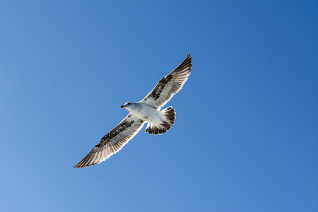 effortless: A seagull spreads its wings as it glides effortlessly through a blue sky