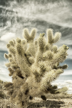 cholla cactus: A dramatic image of the Superstition desert in Arizona shows the rugged detail of a dry wilderness with a sharp cholla cactus and beautifully textured sky Stock Photo